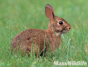 dfw-cottontail
